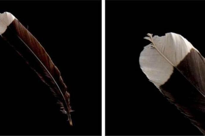 Перо вымершей птицы