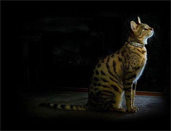 Кошка - Ашера